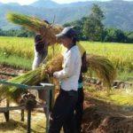 Foto : Petani Padi di Kabupaten Bogor Melakukan Panen Raya