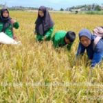Foto: Sentra Pertanian Padi Kepulauan Anambas Tetap Panen di Tengah Pandemi Covid-19.