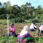 Foto. Penyuluh dan Petani saat Panen Bawang Merah di Papua