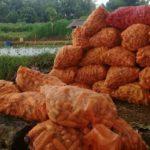 Foto : Jagung korporasi produksi benih varietas Nasa 29 di Tuban yang sudah panen.