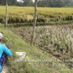 Foto: Poktan Jaya Utama 11 Trucuk, Bojonegoro, Jawa Timur memberikan kontribusi signifikan mendukung penyediaan pangan melalui panen padi sejak akhir Maret 2020.