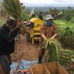 Foto : Kelompok Tani Haur Tutul Yang Melakukan Terobosan Untuk Memanen Padi Gogo