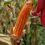 Foto. Benih jagung hibrida berbasis korporasi.