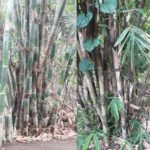 Foto: Pohon Bambu untuk Pertanian Konservasi Lahan dan Air