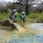 Foto : Para Petani saat Memanen Padi di Sela-sela Kebun Kelapa Sawit