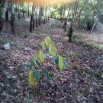 Foto : Penanaman Pohon Manggis Secara Polikultur untuk Menghadapi Tantangan Keterbatasan Lahan.