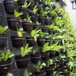 Foto : Tanaman yang Dikembangkan dengan Sistem Urban Farming di Jakarta.