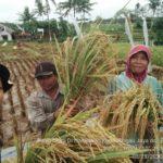 Foto : Petani melawan Covid 19 dengan melakukan perlawanan dengan memproduksi, menyediakan pangan untuk rakyat Indonesia
