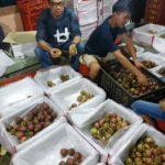 Foto : Petani hortikultura sedang menyortir buah manggis yang akan di ekspor.