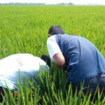 Foto: Pengendalian OPT pada lahan sawah padi.