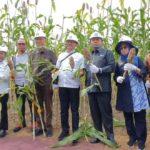 Foto: Panen perdana Sorgum seluas 34,5 hektar di Serdang Bedagai, Sumut.