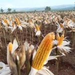 Foto: Sejumlah Desa di Kabupaten Gunung Kidul sedang Panen Raya Palawija, seperti Kacang Tanah dan Jagung.