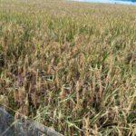 Foto: Sentra pertanian Padi di Indramayu.