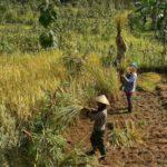 Foto : Panen Padi yang Dilakukan di Ladang Halmahera Barat