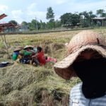 Foto: Panen Padi di Dusun Klojen, Desa Sidomukti, Kecamatan Kraksaan, Kabupaten Probolinggo, Jawa Timur, yang dilakukan oleh P4S Yogi dan petani binaan di sekitarnya.