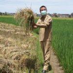 Foto : Walikota Pariaman Provinsi Sumatera Barat, Genius Umar Saat Memonitoring Panen Padi