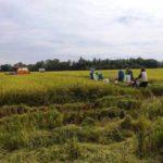 Foto : Petani di Bombana Tetap Melakukan Panen Meski Dalam Pandemi Covid-19