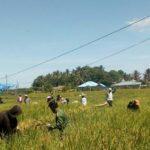 Foto : Kelompok Tani Desa Mansapa, Kecamatan Nunukan, Kalimantan Utara, sedang melakukan panen padi di tengah pandemi Covid-19