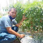 Foto : Junaidi Eko Susilo, Anggota Poktan Jago Tani, Desa Talawaan, Minahasa Utara.