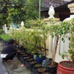 Foto : Penanaman tanaman memanfaatkan pekarangan rumah
