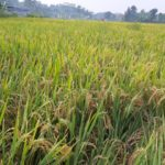 Foto : Padi siap panen di Purbalingga, Jawa Tengah.