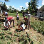 Foto : Panen Bawang Merah oleh Para Petani di Kampung Arsopura Distrik Skanto, Papua.