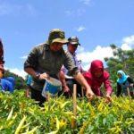 Foto : Penyuluh Pertanian Gorontalo Dampingi Petani Bone Bolango Panen Raya Cabai
