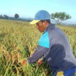Foto : Petani Maluku Sedang Memanen Padi Biofertifikasi Untuk Tangani Stunting