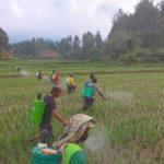 Foto : Para petugas POPT-PHP dalam upaya mengawal tanaman padi di wilayah di Sumatera Utara.