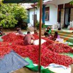 Foto : Cabai hasil produksi kelompok tani di kaki Gunung Rinjani Lombok.