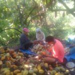 Foto : Petani Komoditi Cokelat