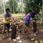 Foto : Kopra Petani Dapat Perhatian Khusus oleh Pemkab Morotai